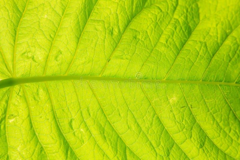 ampuła zielenieje liść z światła słonecznego jaśnieniem zdjęcia royalty free