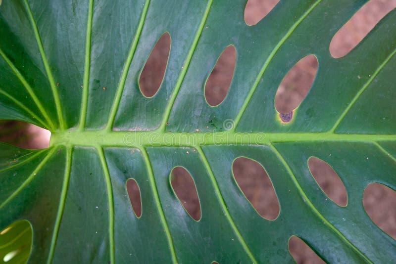 Ampuła zielenieje liść z dziurami i światła słonecznego jaśnieniem zdjęcia stock