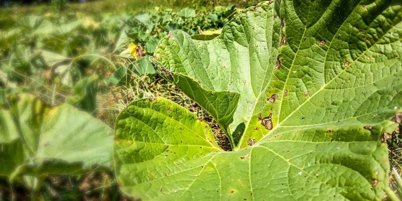 Ampuła zielenieje ogórkowych liście w ogródzie fotografia stock