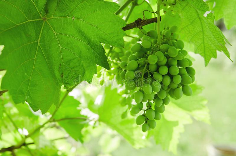 Ampuła zielenieje wiązkę winogrona wiesza na gałąź obrazy stock