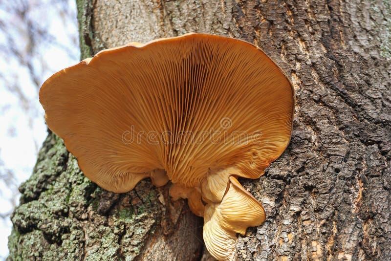 Ampuły pieczarka na drzewie obrazy royalty free
