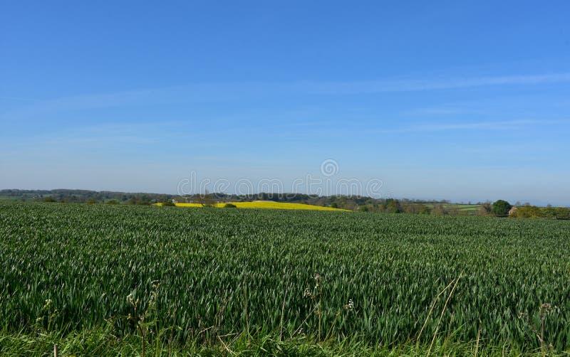 Ampuły pole z Zielonymi uprawami i Rapeseed w tle obrazy royalty free