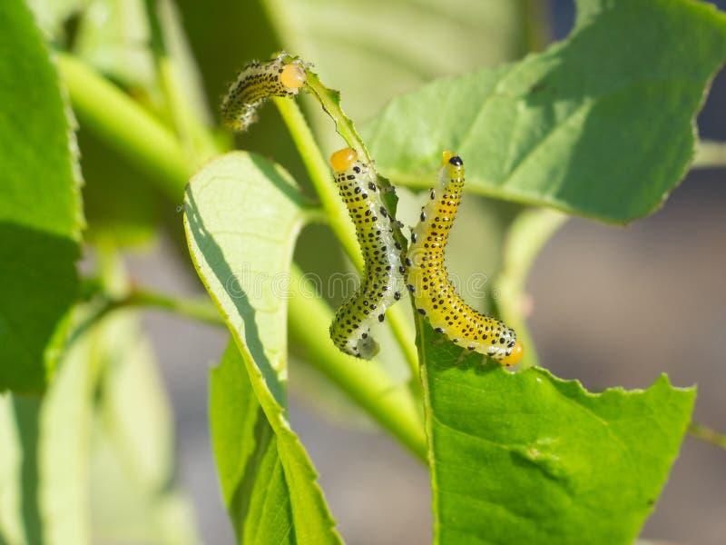 Ampuły różanego sawfly gąsienicowy łasowanie wzrastał liście zdjęcie royalty free