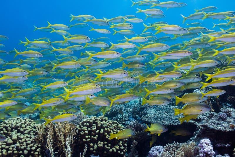 Ampuły szkoła tuńczyka żółtopłetwowy goatfish fotografia stock