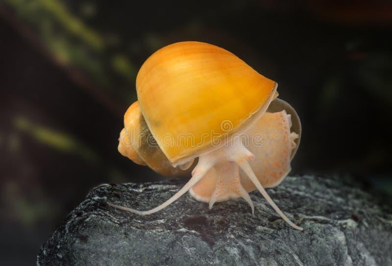 Ampullaria ślimaczek fotografia stock