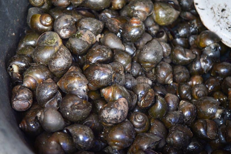 ampullaria dorata fotografie stock