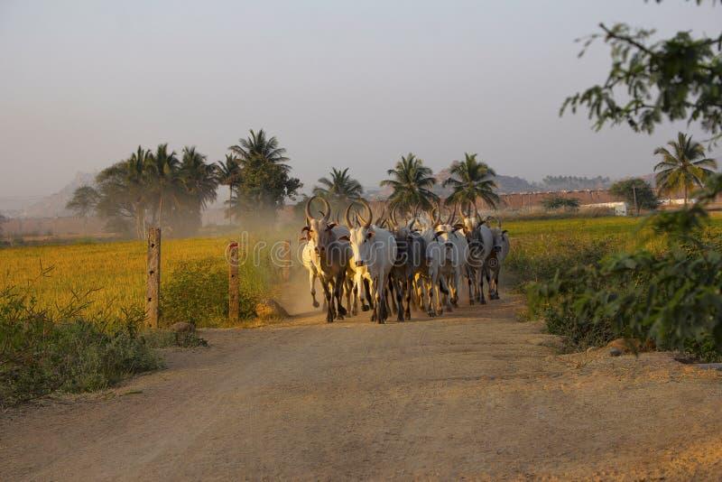 Amritmahal母牛品种,土路的亨比,卡纳塔克邦,印度 库存照片