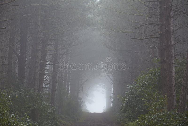 Amrum (Allemagne) - forêt au brouillard photo libre de droits