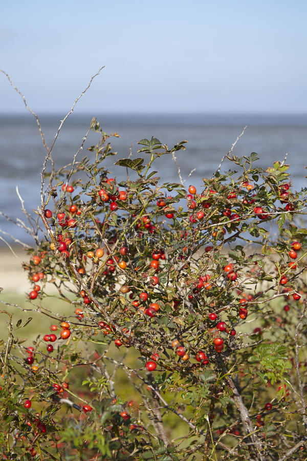Amrum (Germany) - Roseships in front of the mudflat. A bush with rosehips grow at the coast of the Isle Amrum (Germany, Schleswig-Holstien, North Frisia) in stock image