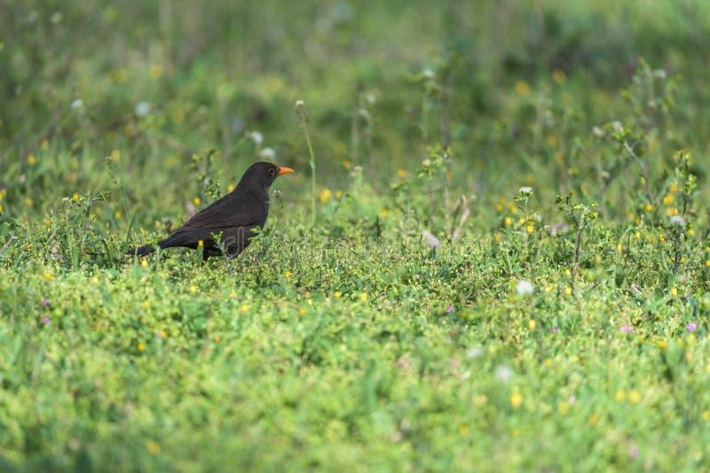 Amsel auf einem Gras lizenzfreie stockfotografie