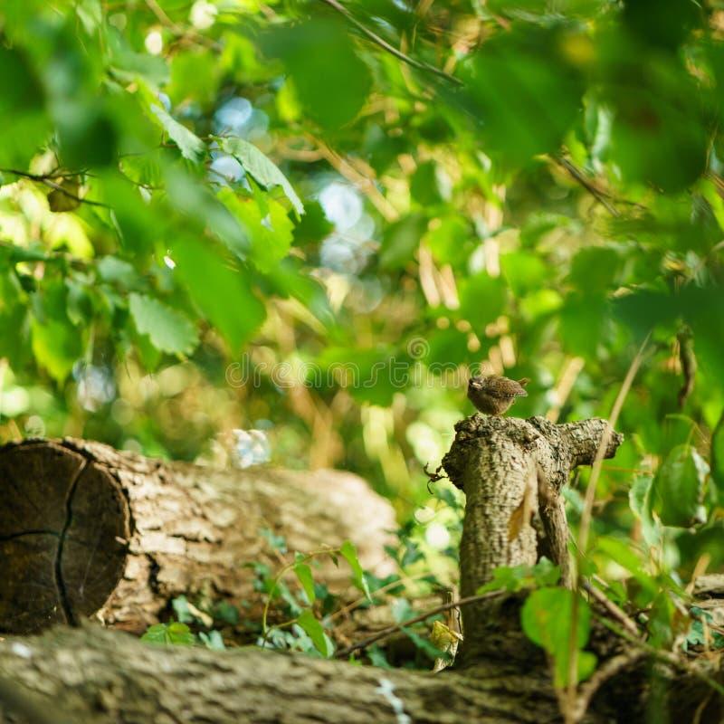 Amsel u. x28; Turdus merula& x29; , eingelassen Großbritannien stockbild