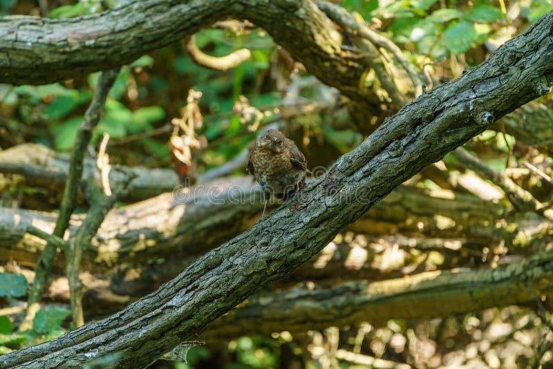 Amsel u. x28; Turdus merula& x29; , eingelassen Großbritannien stockfotos
