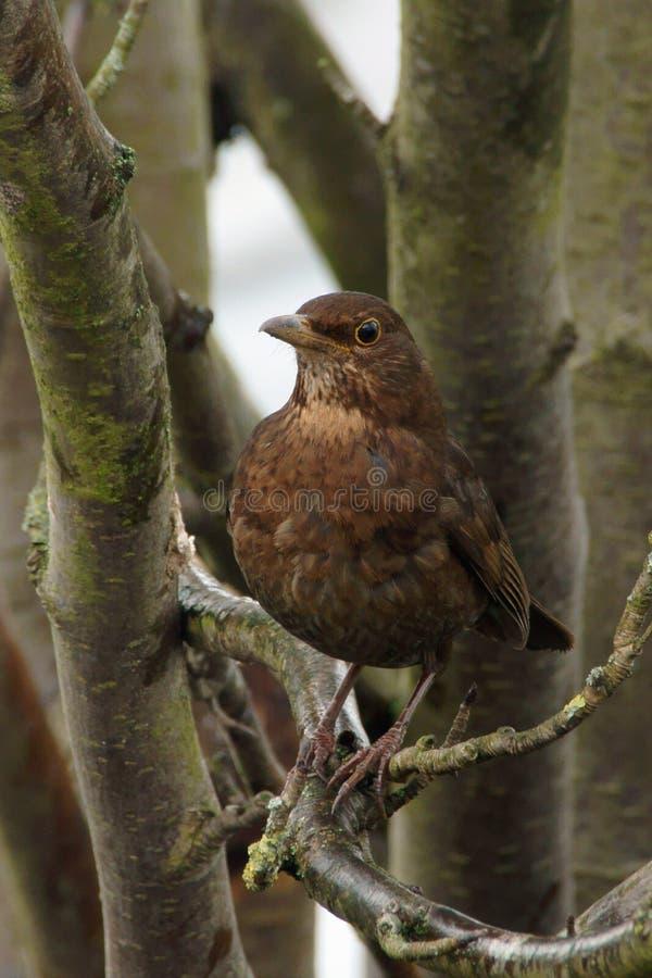 Download Amselweibchen In Einem Baum Turdus Merula Stockfoto - Bild von gehockt, stolz: 106801860