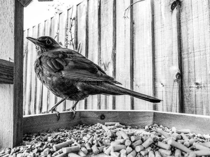 Amselweibchen Turdus merula gehockt am Rand einer Vogeltabelle mit Nahrungsmittelkugeln stockfotos