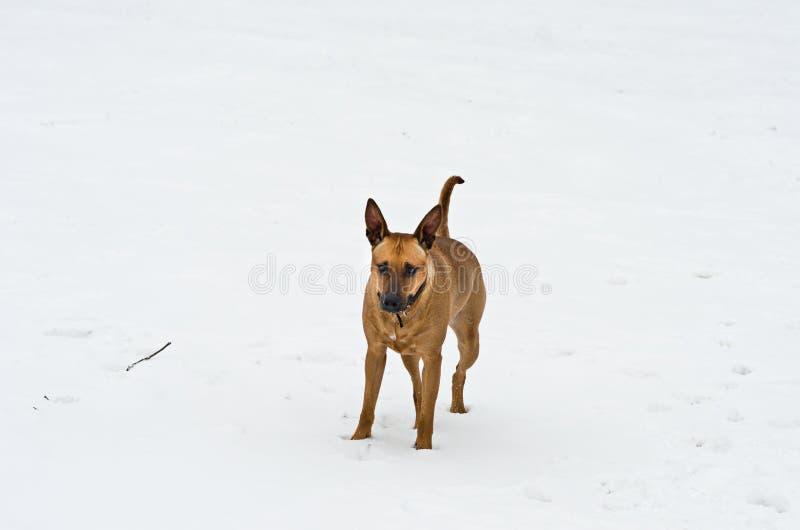 Amstaff dog playing stock photography