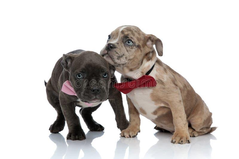 Amstaff szczeniaki ubierali w górę łęków krawatów straszą z fotografia stock
