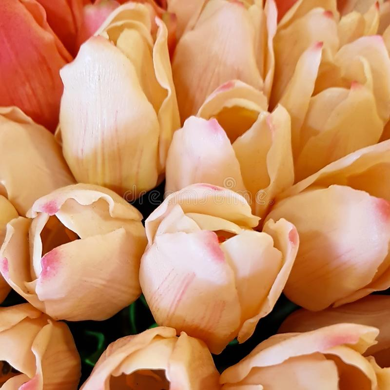 Bunches of Tulips in closeup, peach, pink stock images