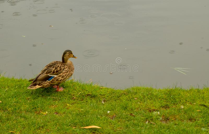 Amsterdam, Holland, August 2019. The Vondelpark: the large park in the heart of the city. On a rainy day, view of one of the ponds. A duck lingering on the stock image