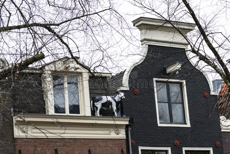Amsterdam the house with the cow on the roof. Amsterdam Holland The city of Amsterdam, capital of the Netherlands, is built on a network of artificial canals in stock photos