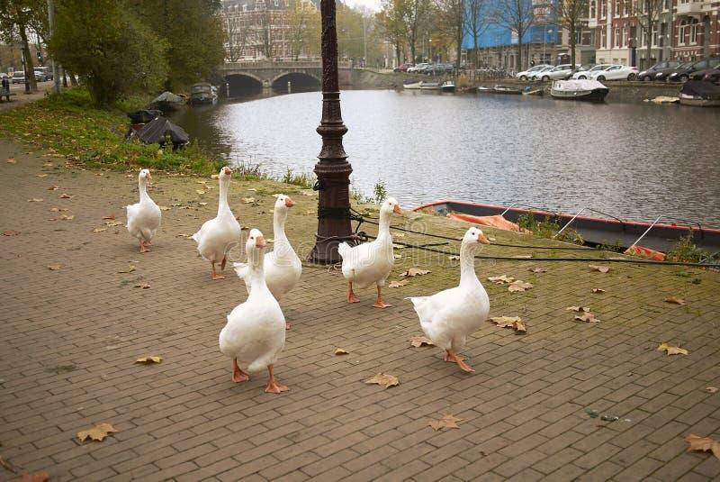 White ducks walking in Amsterdam royalty free stock image