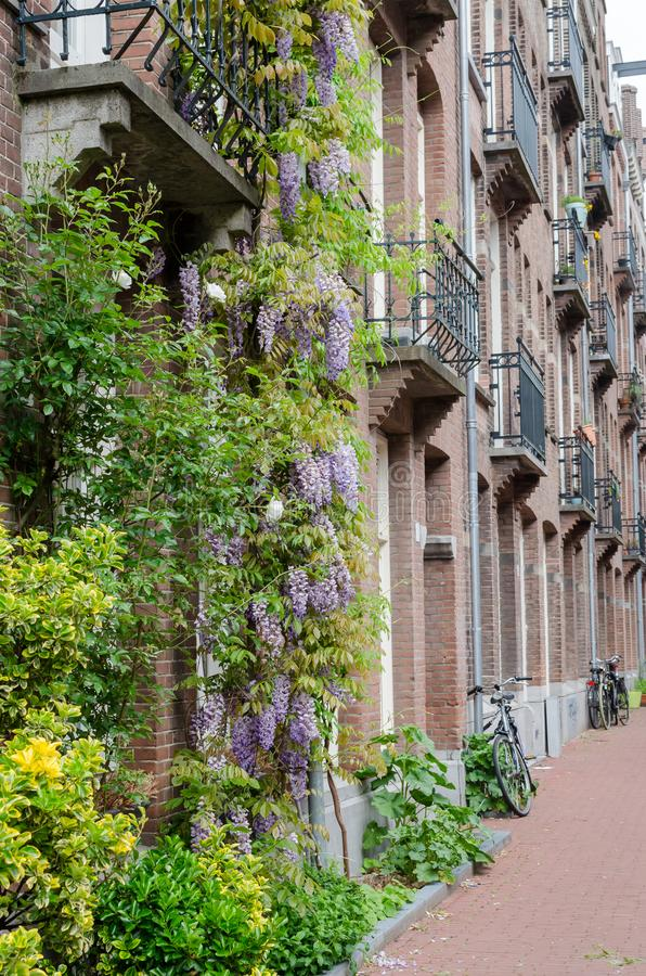 Amsterdam Oost. East side neighbourhoods. View of houses with balconies, bikes and beautiful violet visteria on the facade. Vertical frame stock photos