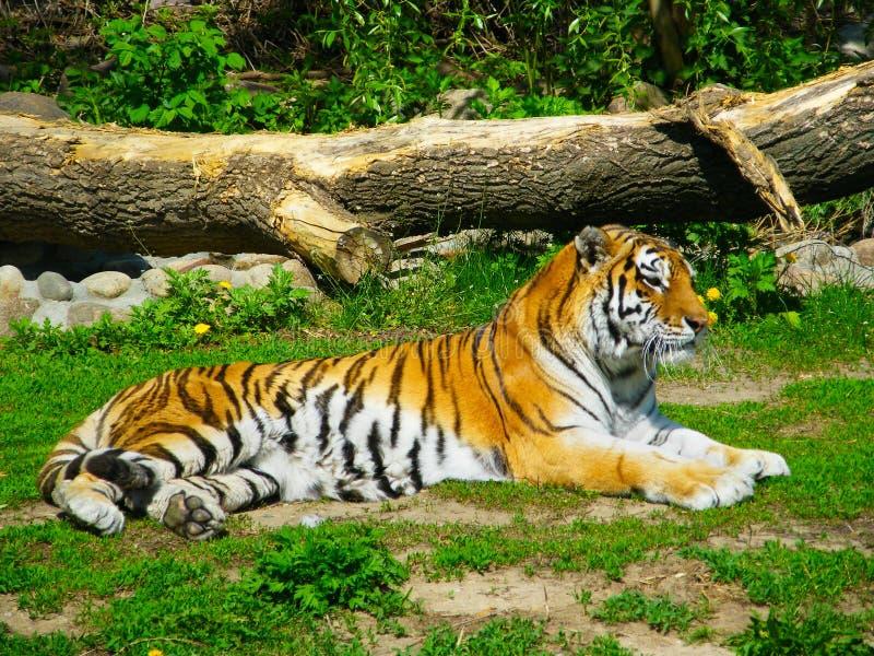 amur τίγρη στοκ φωτογραφία