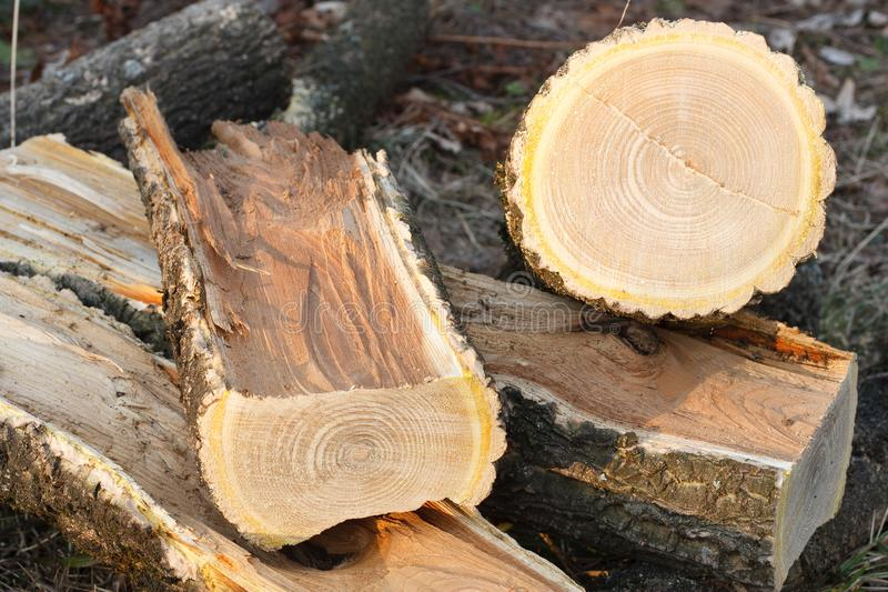 Amur cork tree firewood stock photos