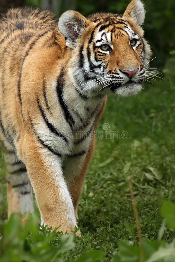 amur cub τίγρη στοκ φωτογραφίες με δικαίωμα ελεύθερης χρήσης
