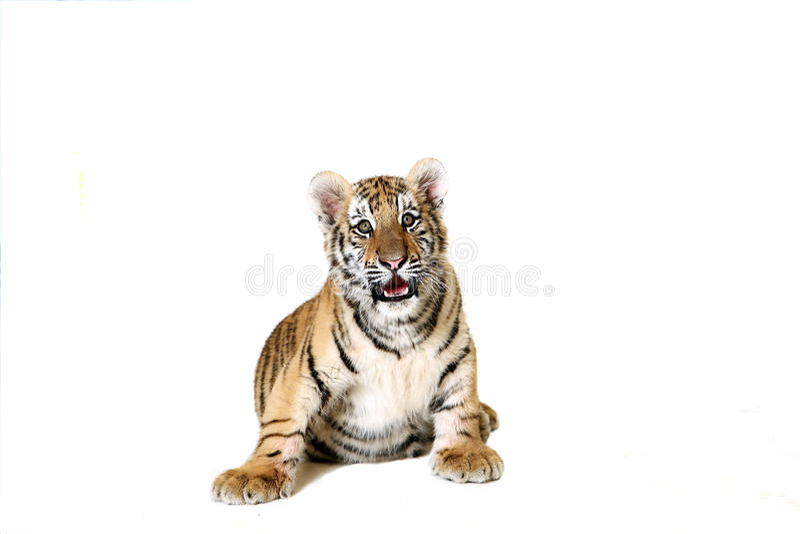 amur cub τίγρη στοκ εικόνες