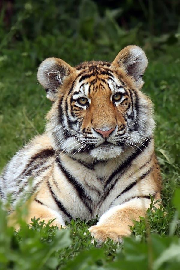 Download Amur Cub stock image. Image of alert, feline, baby, dangerous - 7176075