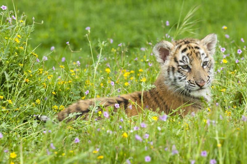 Amur et x28 ; Siberian& x29 ; chaton de tigre s'étendant en fleurs jaunes et vertes photographie stock libre de droits