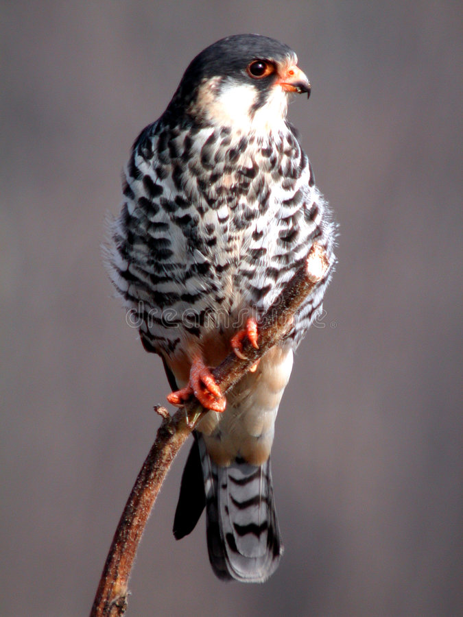 Amur falcon royalty free stock images