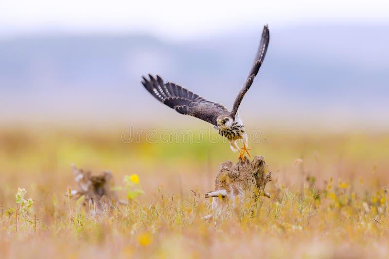 Amur-Falke stockfotos