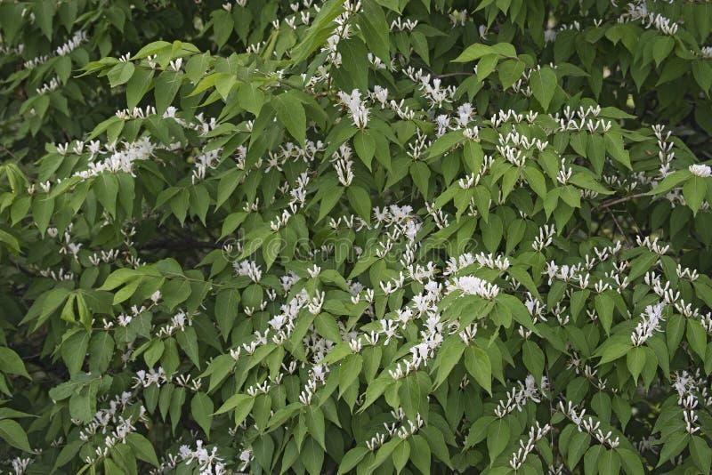 Amur kaprifol i blomning arkivbild