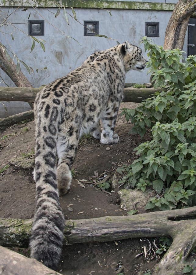 Amur lampart w niewoli obraz stock