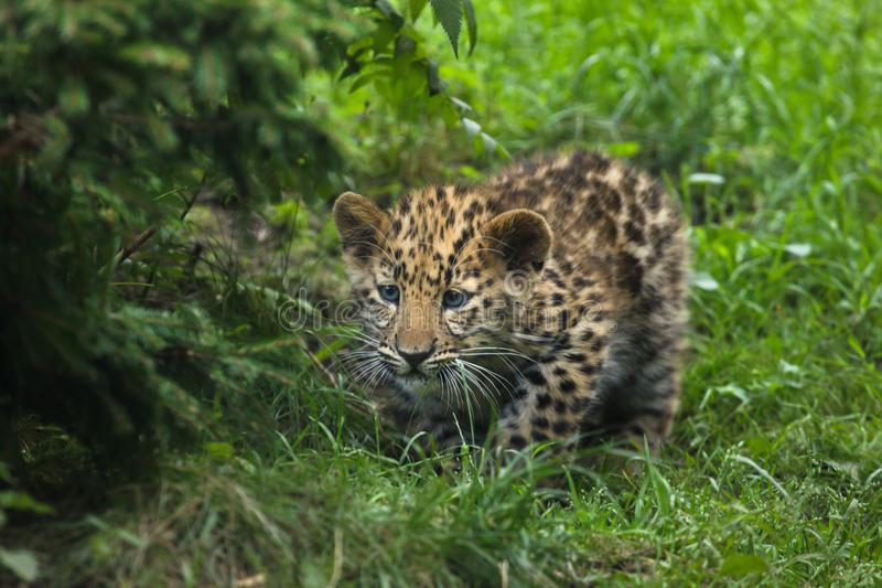 Download Amur Lamparta Panthera Pardus Orientalis Zdjęcie Stock - Obraz złożonej z zwierzęta, życie: 106914760