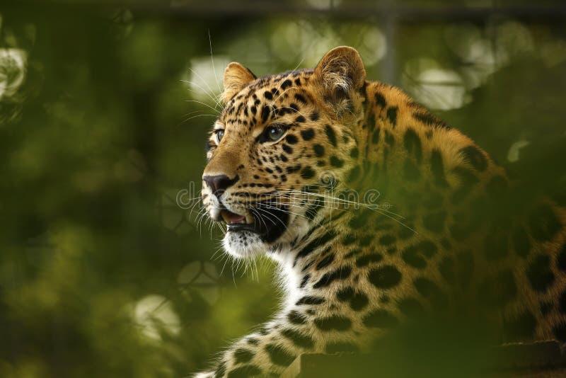 Amur lamparta relaksujący majestatyczny duży kot obraz royalty free