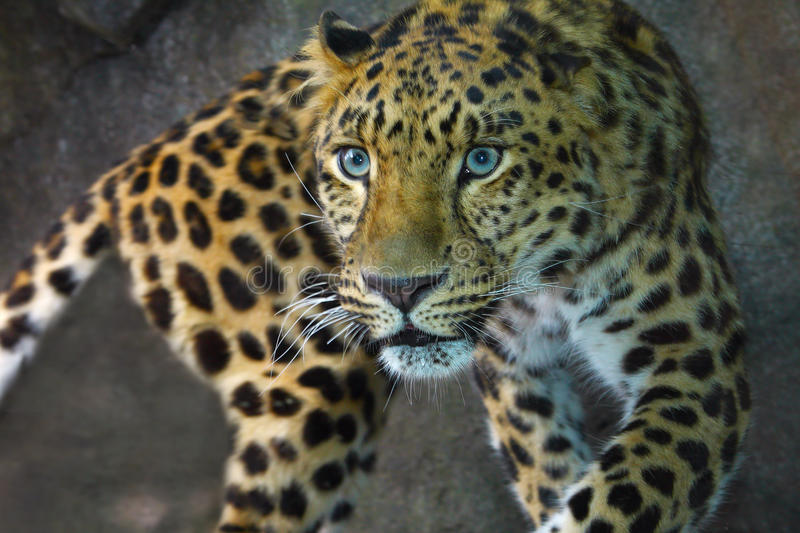 Download Amur Leopard stock photo. Image of leopard, life, carnivorous - 14634888