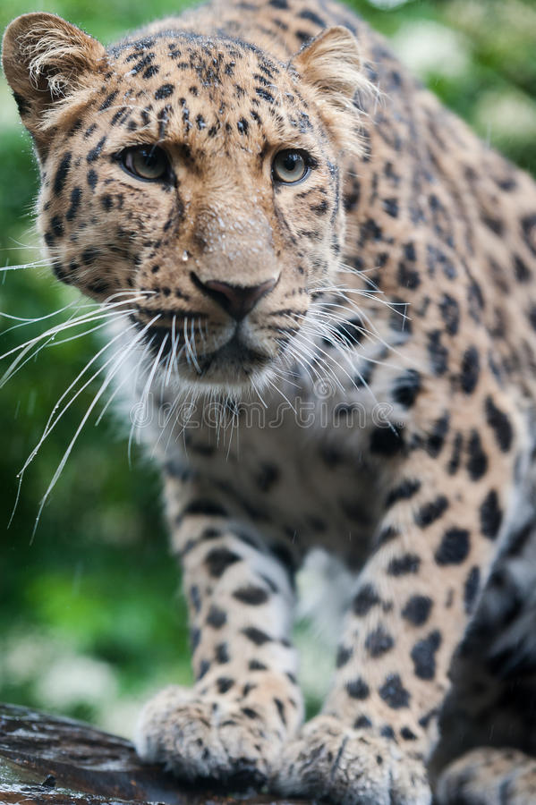 The Amur Leopard. This picture shows the Amur Leopard. This is one of the rarest cats in the world and there are thought to only be 35 left in the wild. This stock photo