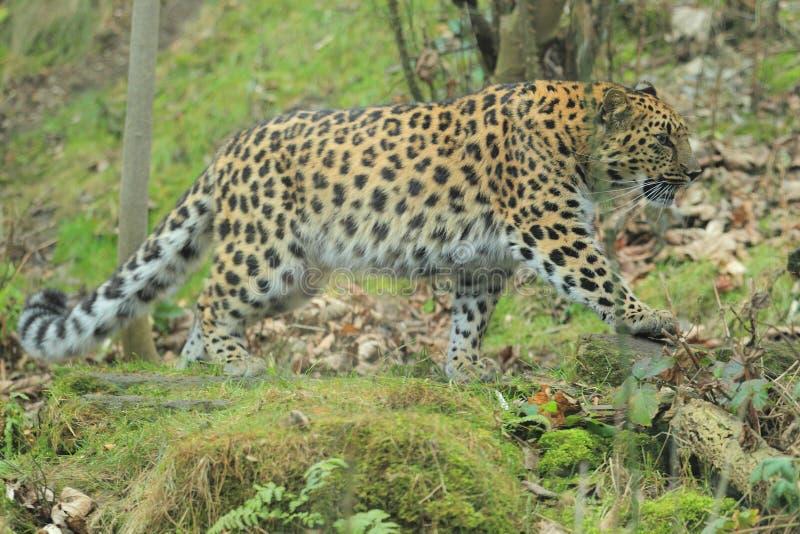Amur leopard. The amur leopard strolling in the grass stock image