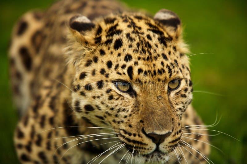 Amur-Leopard lizenzfreies stockfoto