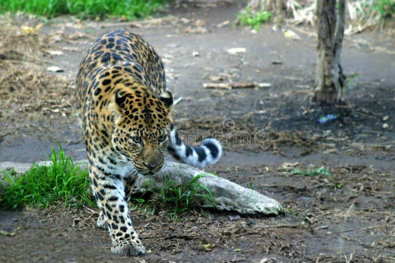 amur leopard στοκ φωτογραφία με δικαίωμα ελεύθερης χρήσης