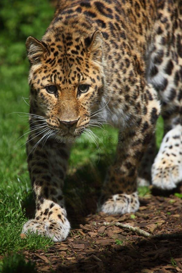 Download Amur Leopard stock photo. Image of amur, portrait, coat - 9531028