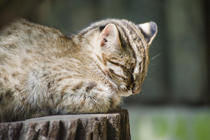 Amur Leopard Cat Stock Photo