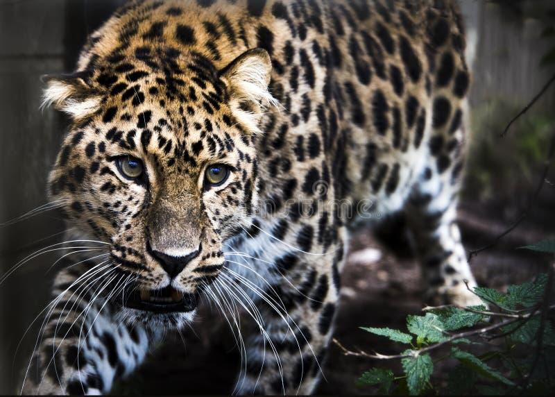 Amur-Leopard in der Gefangenschaft lizenzfreie stockbilder