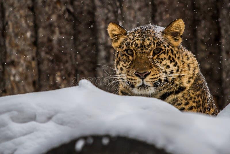 Amur leopard från vintern Ryssland royaltyfri foto