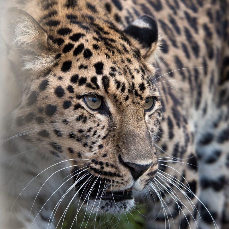 Amur leopard i fångenskap arkivbilder