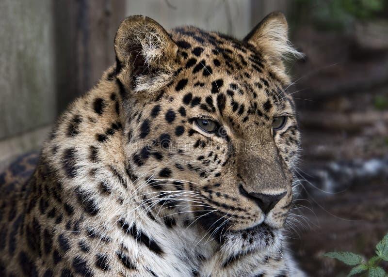 Amur leopard i fångenskap - royaltyfri foto