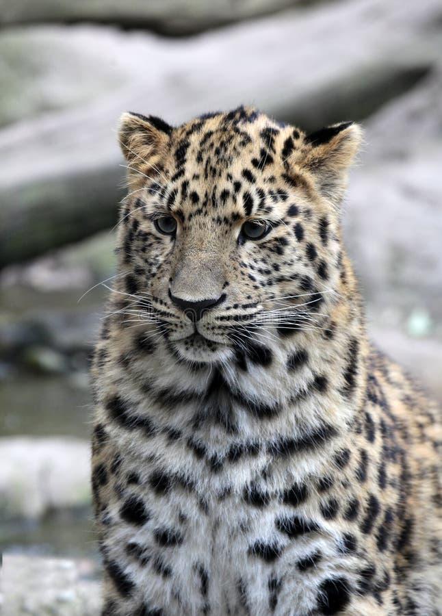 Amur leopard i fångenskap, Mulhouse zoo, Alsace, Frankrike arkivfoton