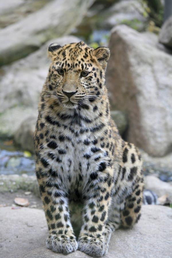 Amur leopard i fångenskap, Mulhouse zoo, Alsace, Frankrike royaltyfria foton